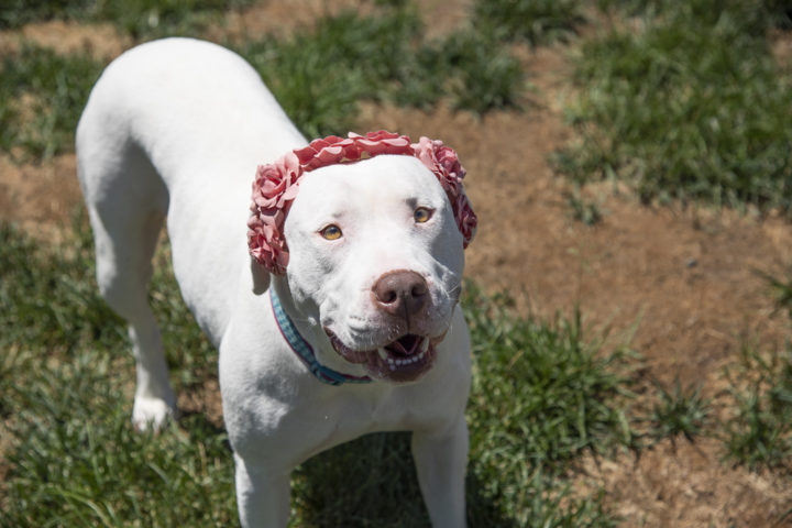 Bria Snow – An absolute angel of a dog! This sweet princess has love to give!