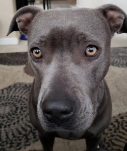 Molly is a grey Staffy mix available for adoption near Denver, CO