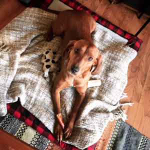 Rosey is a redbone hound available for adoption in Denver, Colorado