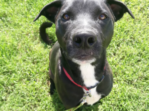 Tanner is a lab mix dog available for adoption in Denver, CO