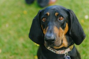 Berkely, a black and tan hound available for adoption in Denver CO