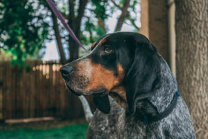 Yondu, a Bluetick Hound for Adoption in Denver, CO