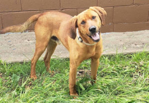 Max, a redbone hound for adoption in Denver CO