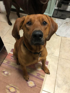 Max, a redbone hound for adoption in Denver CO