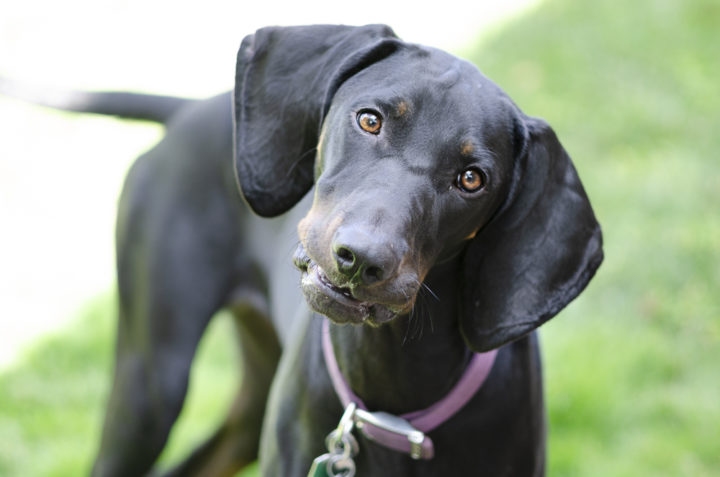 Annie – Active and Sweet Hound Dog for Adoption in Denver CO